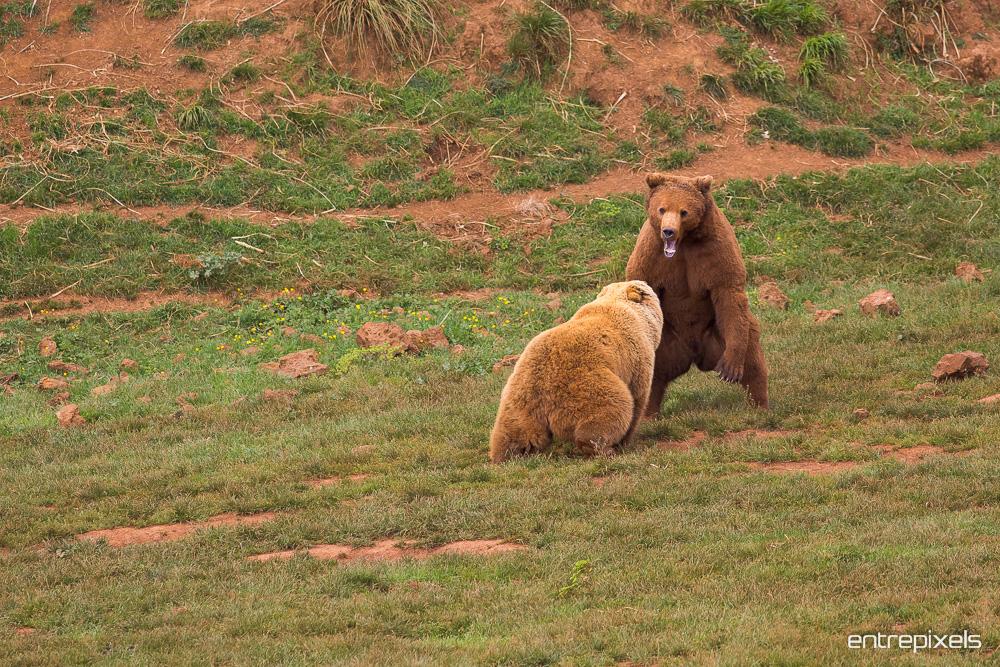 Osos Pardos peleando en el Parque Natural de Cabárceno